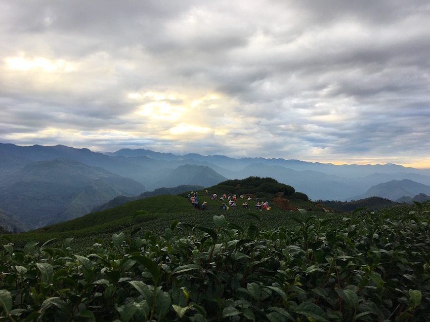 eryanping-trail-tea-plantation-2