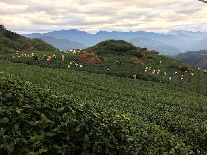eryanping-trail-tea-plantation