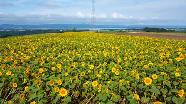 hokkaido-sunflower-field