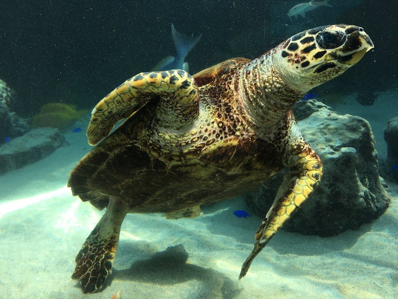 churaumi-aquarium-sea-turtle