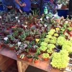 gaya-street-sunday-market-bonsai