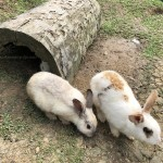 arnab-village-sabah-rabbits