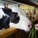 desa-dairy-farm-feed-cow