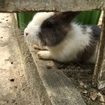 sabah-arnab-village-rabbit