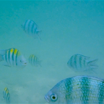 sapi-island-snorkelling-fishes