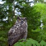 capilano-owl