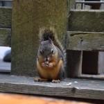 capilano-squirrel